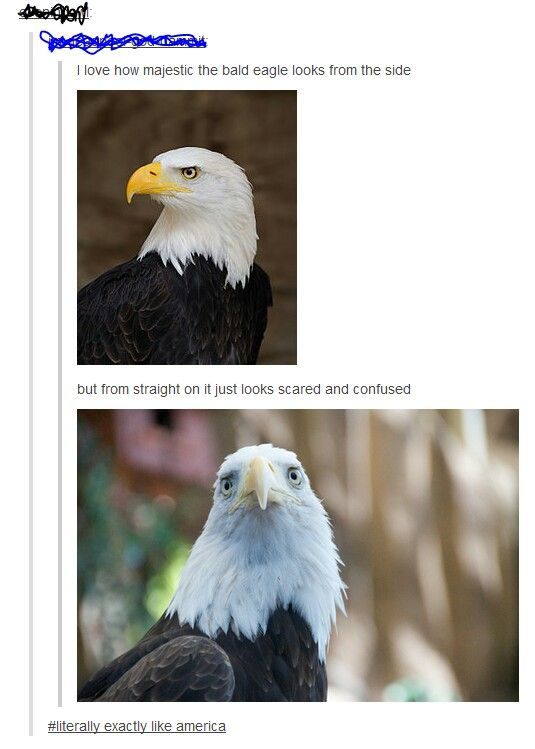 e8fc69e21c10fff40f166a944904dde3 bald eagles funny tumblr posts the 25 best bald eagle meme ideas on pinterest make me bald