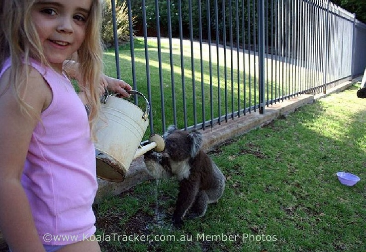 Early in 2009, in the weeks before the tragedy that was the Black Saturday bushfires, a heat wave hovered over Australia. Far from being asleep in the trees all day koalas went looking for water. Background temperatures reached 46 degrees Celsius (115 °F) Australia