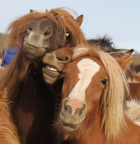 Icelandic horses -- i feel like i have seen similar photos from several clubs of girls... smooshed together in a pile of hair and sometimes, bad makeup... #icelandic #horses #iceland #horse #pony