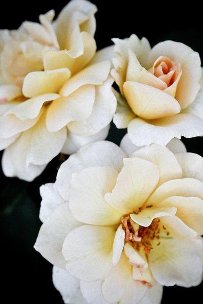 Antique Amber Roses