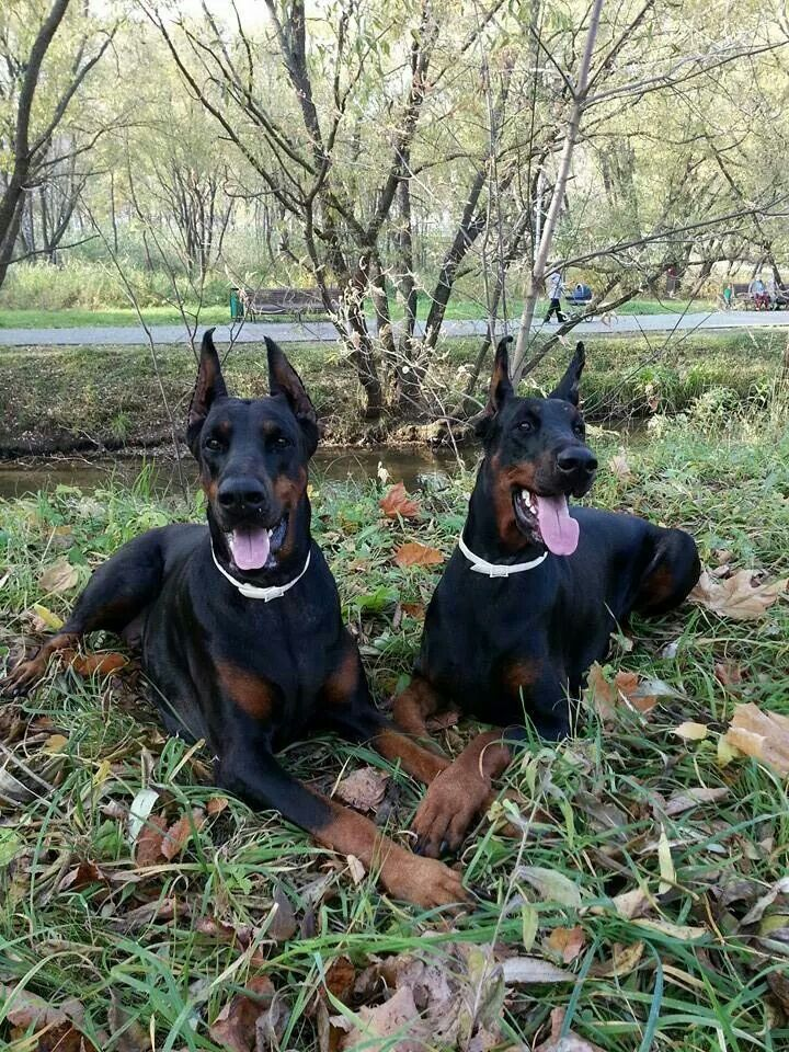 I love Dobermans but I don't like the cropping ears part.
