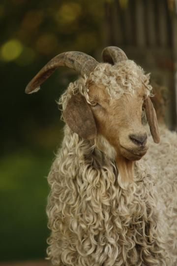 This Angora goat is just gorgeous! 10 tips on starting a fiber farm | Living the Country Life | http://www.livingthecountrylife.com/10-tips-starting-fiber-farm-0/