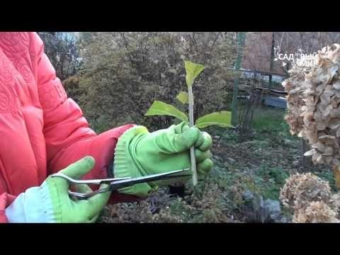 Размножение гортензии - пять основных способа. Мой сад, огород. Копилка дачного опыта.