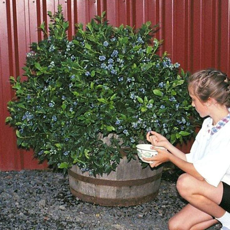 "The best blueberries for container life are highbush varieties (as opposed to rabbiteye) that have been bred for short stature, commonly called ""half-high."" Plant blueberry bushes in acidic soil and in containers that are at least 18 to 24 inches deep. To get the best harvest, the flowers must cross pollinate with a nearby blueberry bush that is a different variety but is also flowering at that particular time of year. Just find 2 varieties that produce fruit at the same time of year."