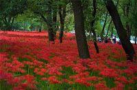 Прекрасный сад Людмилы Котовой: Ликорис – садовое или комнатное растение?