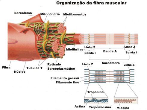 Tecido muscular esquelético - Só Biologia