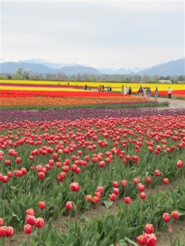 The Skagit Tulip Festival in Washington State. Photo by Taryn Koerker.