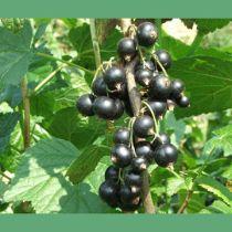 Jak uprawiać porzeczki – smaczne i zdrowe krzewy jagodowe - E-ogródek