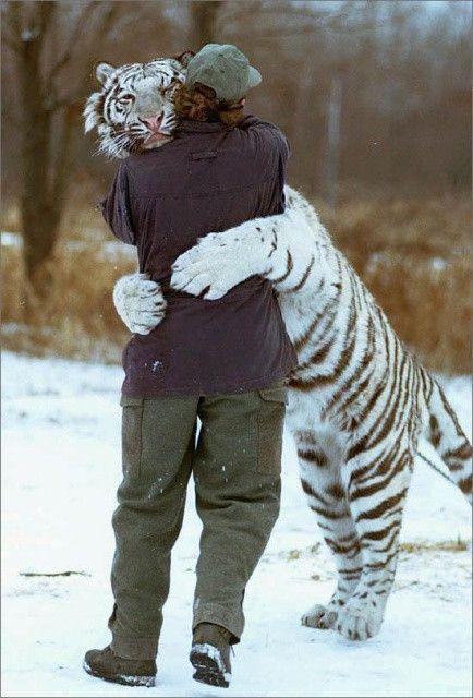 Tigre ciberiano abraçado a uma pessoa.