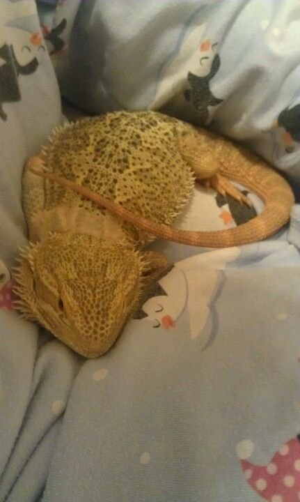 Spoiled bearded dragon, one of my beardies does this she sleeps in bed with me. Just like that.
