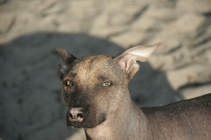 Sari - Peruvian Hairless Dog. Late afternoon sun at the sand dunes of Soesterduinen, The Netherlands.