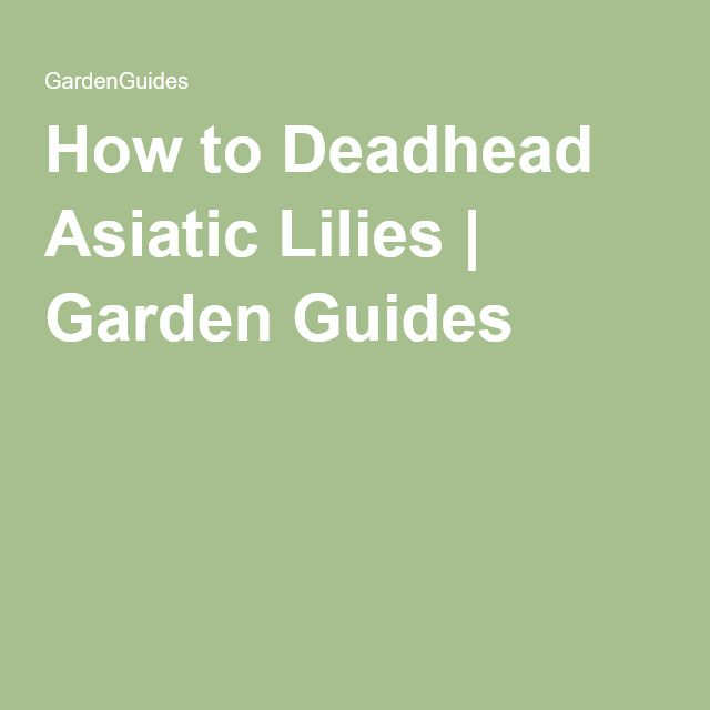 How to Deadhead Asiatic Lilies   Garden Guides