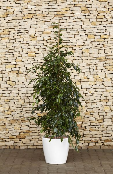 Ficus Midnight Lady - Ficus benjamina. Growing Conditions: Bright light; 60-75°F, 16-24°C; Water thoroughly, then allow to dry out slightly between waterings. This plant will not tolerate soggy soil. Keep soil slightly drier in winter, when light levels are lower.