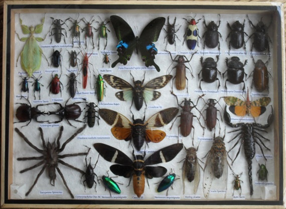 Best  Real CICADA Insect Taxidermy Collection in wooden box infl