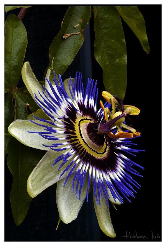 PASIONARIA O PASIFLORALa Passionaria caerulea es una planta trepadora de enorme vigor y crecimiento rápido. Originaria de Sudamérica y a pesar de ello muy resistente al frío lo cual permite su cultivo en áreas geográficas de climas más fríos. La planta soporta temperaturas de hasta -10ºC e incluso si se daña la parte aérea de la planta por las heladas vuelve a brotar desde la base.http://www.guiadejardineria.com/la-pasionaria-azul-o-pasiflora/