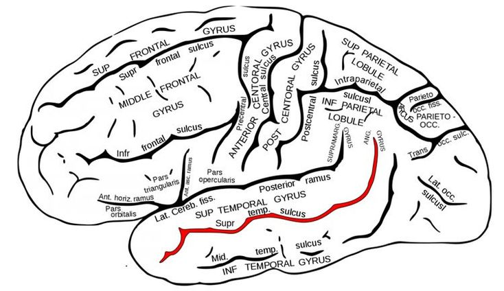 Superior temporal sulcus. Right hemisphere associated with social meanings/movement perception/expectation