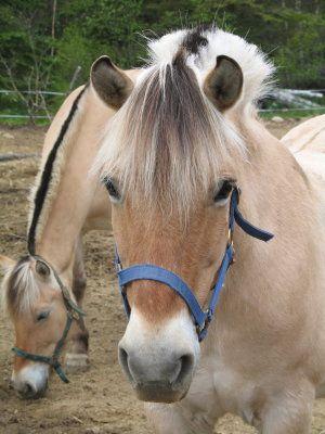 Les 25 meilleures id es de la cat gorie cheval fjord sur for Multiplication cheval