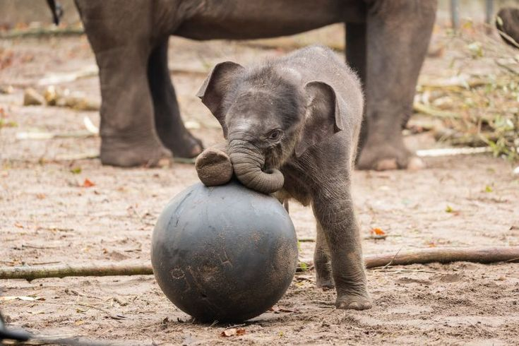 After a gestation period of 631 days (21 months), it only took a grand total of two minutes for the delivery of Artis Zoo's new Asian Elephant calf! New mom, Thong Tai, welcomed the quick arrival of her new baby on October 16