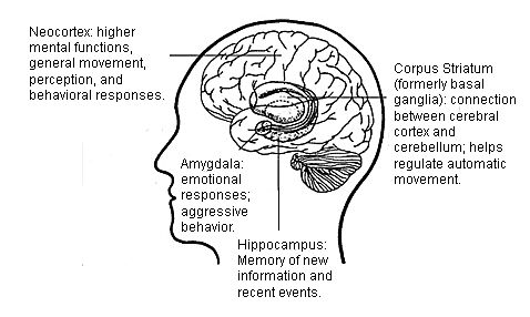 The locations in the brain of the cerebral cortex (also called the neocortex), amygdala, hippocampus, and corpus striata (formerly basal ganglia). NIH illustration.