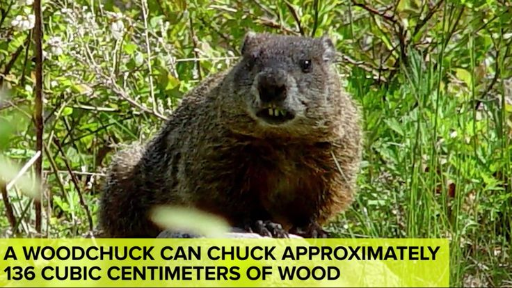 How much wood can a woodchuck chuck if a woodchuck could ...