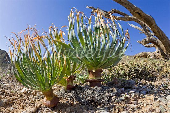 Plants in succulent karoo habitat, Richtersveld, Northern Cape, South Africa Stock Photos