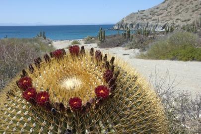 Giant Barrel Cactus, Catalina Island, Gulf of California, Mexico from Webshots