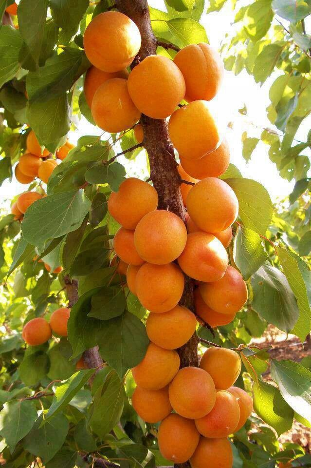 The Fruit of Israel...The Jaffa Orange is a sweet, almost seedless orange variety with a tough skin that makes it suitable for export. A succulent fruit.  ♔PM