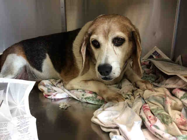 Beagle Dog For Adoption In San Antonio Tx Adn 686597 On