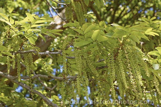 pterocarya x rehderiana siipipähkinä