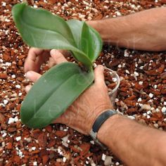 Rempotage orchidée : Comment rempoter une orchidée. Fiche conseils de culture des orchidées sur le rempotage.