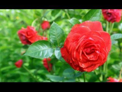 Composición floral con rosas inglesas