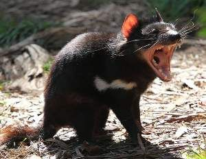 The Tasmanian devil is at risk of extinction in the wild due to a transmissible facial cancer. Next generation sequencing could guide conser...