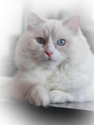 � Vítame Vás na stránkach našej chovateľskej stanice � Mačka je tvor, ktorému sa nikto a nič nepodobá. Mačka síce môže milovať svojho človek...