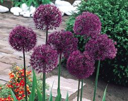 Giant-headed Allium In the last few years, large flowering Alliums have become the fashionable showy bulb in the British garden. Flowers last for weeks and are ideal for cut flowers in long graceful vases.