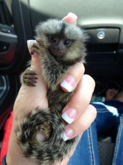 Poggis Animal House - Marmosets for sale   Davie, Florida 33325.  #lifegoals.
