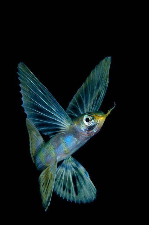 Keri Wilk. Flying Fish, Raja Ampat, Indonesia: