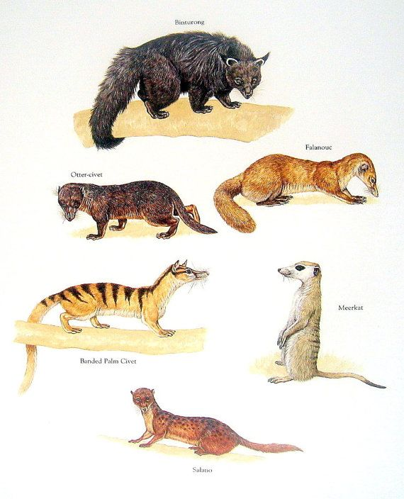 Binturong, Meerkat, Otter Civet, etc. Vintage 1984 Animal Book Plate