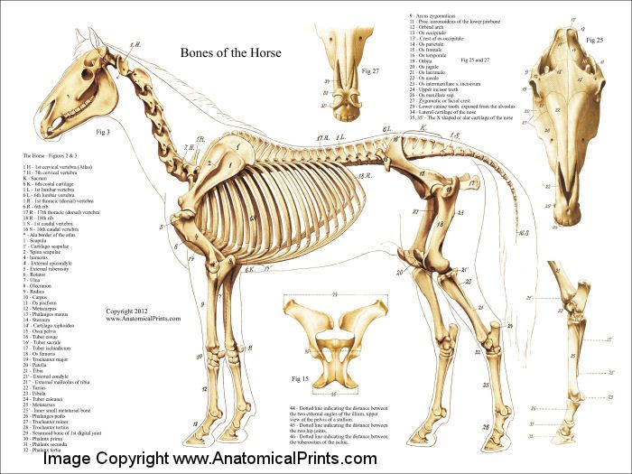Equine Skeleton Structure Diagram - DIY Wiring Diagrams •