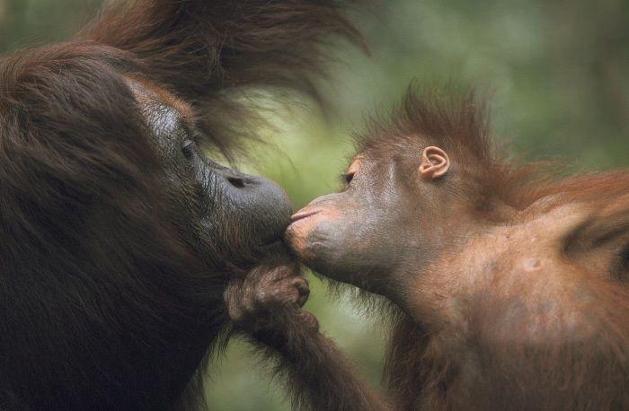 L'animale più mammone della Terra? L'uomo, naturalmente. Subito al secondo posto però si piazza l'orango del Borneo (Pongo pygmaeus): eccolo mentre schiocca un bacio appassionato alla sua mamma.  --------- Le più belle foto di cuccioli - Focus.it
