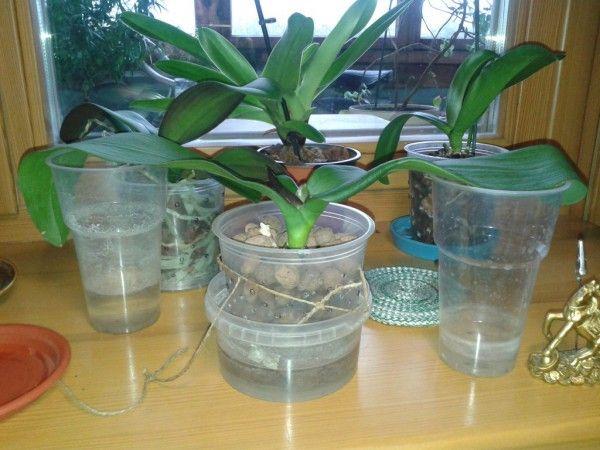 """""""Как отрастить корни у фаленопсиса?"""" - учимся вместе."""
