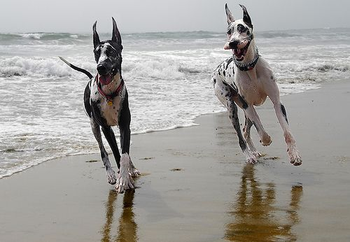 I love great danes! I am waiting for school to finish so I can adopt one. I found this image online, and can't wait to give a dog a forever home and endless walks on the beach.