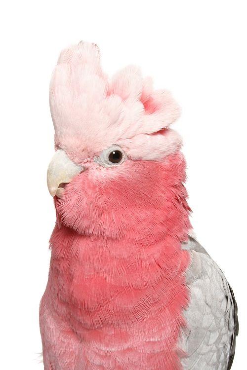 """viceking: birdblog: birdchannel: La cacatúa rosa breasted, también llamada la cacatúa Galah, es nativa de Australia. ¿Tienes un 'también? Echa un vistazo a cinco formas de interactuar con su cacatúa aquí. ohmygodwhyaretheysoflawless whydontiownoneyet asdfghjkldsajkdghasjkghjk; En realidad no lo es """", también llamado el Galah Cockatoo"""", su único nombre es el """"Galah"""" (sin Cockatoo). Galahs particular les encanta jugar en la lluvia. En cuanto a mantener un modo de un animal doméstico: Como ..."""