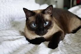 Personality Of Ragamese Cat Google Search Hypoallergenic Cats Cat Breeds Hypoallergenic Cat Allergies