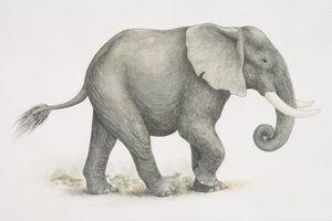 Elefante - GettyImages