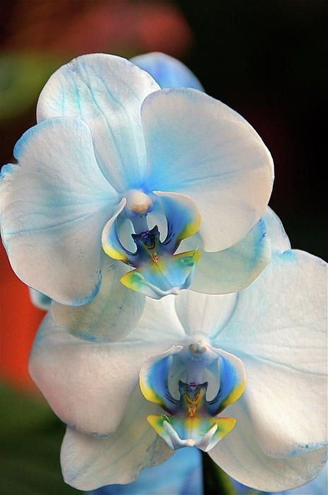 Blue Orchid Plants for Sale | Blue Mystique Orchid For Sale http://fineartamerica.com/featured/blue ...