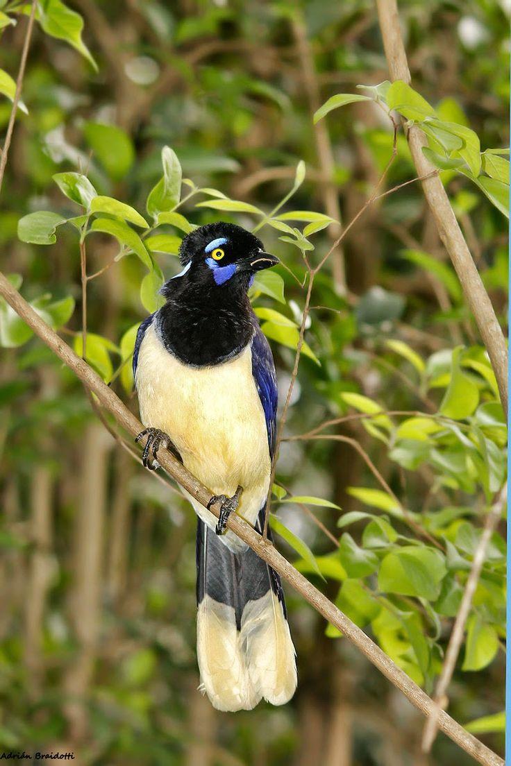 Aves Argentinas: Urraca común