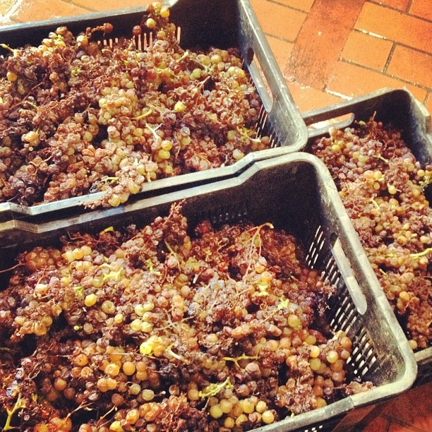 Just-picked Muscat de Frontignan grapes.