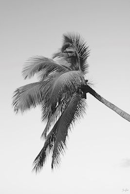 Black and white photography of a palm in Dominican republic. Available as poster at printler.com, the marketplace for photo art. Photographer Dima Brandt.