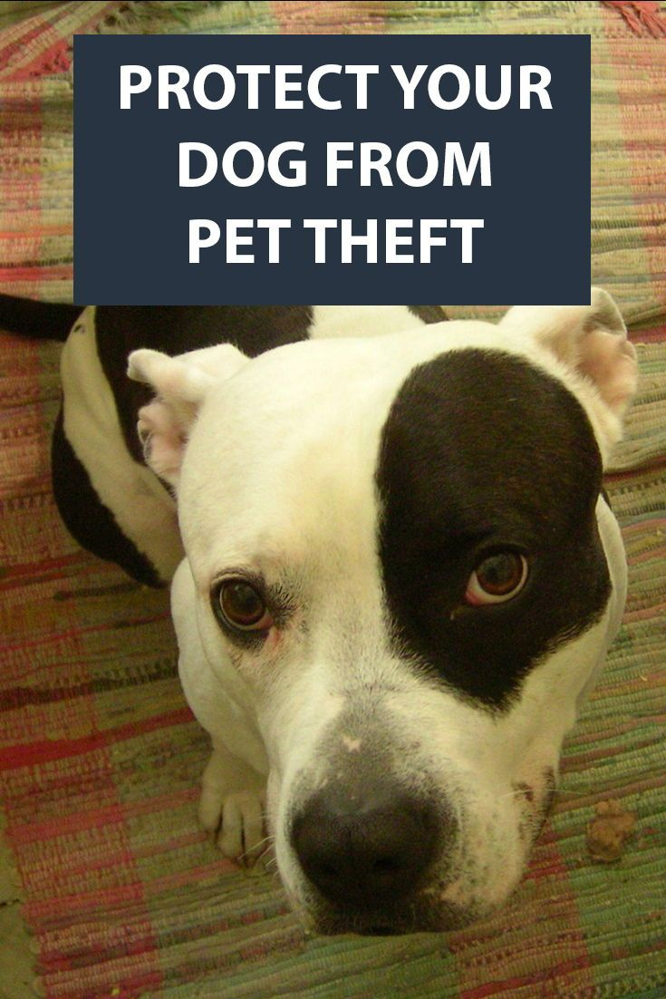 Don T Let Thieves Steal Your Dog German Shorthaired Pointer Dogs And Kids German Shorthaired Pointer Dog