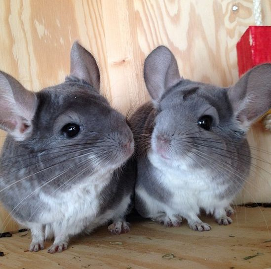 Morgan_and_Pomfis   Community Post: 7 Chinchillas You Need To Be Following On Instagram